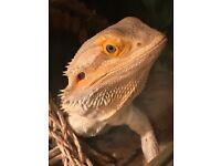 Male Bearded Dragon Complete with 3ft Viv and 2ft Viv holiday home with accessories