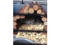Two dwarf hamsters