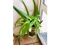 Aelovera plant