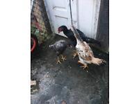 Shamo hens