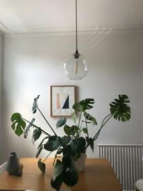 Huge monstera swiss cheese plant in pot