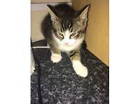 11 week old male kitten