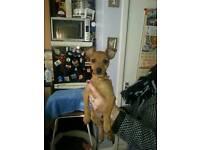 Miniature pincer dog