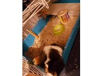 Guinea pig male, cage, full set up