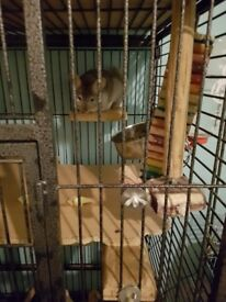 2 male brother chinchillas 1 year old for sale