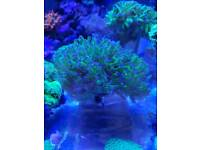 Corals for sale . Hammers. Anemones. Mushrooms. Sps. For marine aquarium