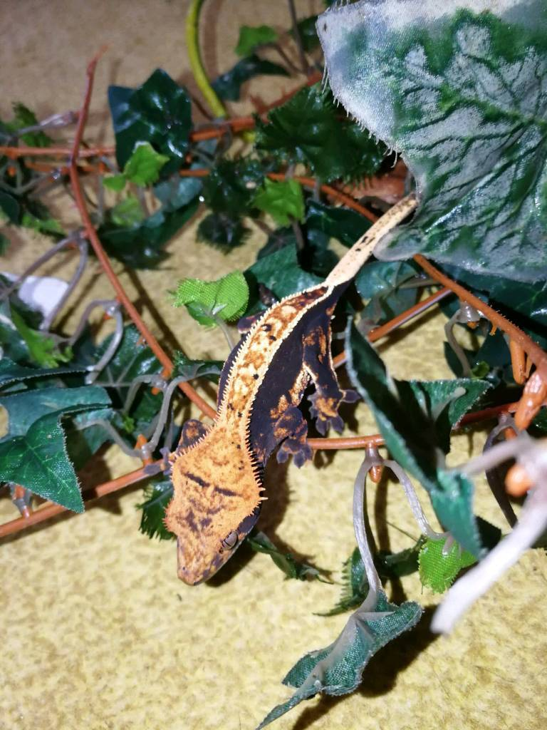 Crested gecko babies for sale