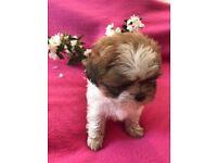 Zuchon puppy Blossom Ready to leave Fri 6th July