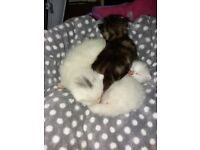 RESERVED Two lovely white twin kittens