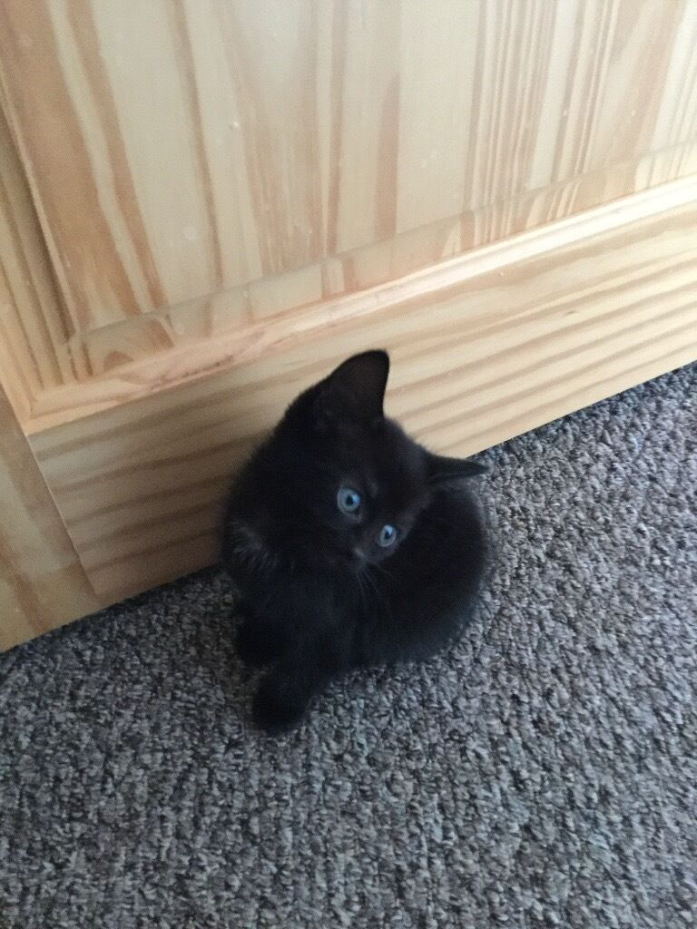 2 black kittens & 1 year old mother for sale