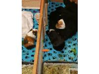 3 x Male Guinea pigs with hutch and run.