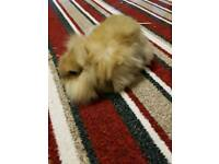 Baby mini lop lion head rabbits