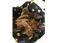 Gorgeous Burmese kittens-full pedigree