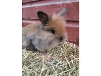 Baby mini lops ready to be reserved