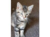 Beautiful male tabby kitten
