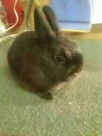 Netherland Dwarf Bunny Rabbit - Doe