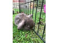 Rabbit, Mini lop babies
