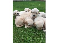 Golden Retriever Puppies KC Registered