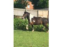 Lovely 15hh mare for full/part loan