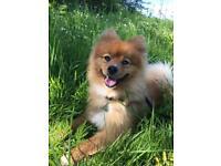 Handsome Pomeranian Boy