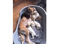 Lurcher pups for sale( 1pup left)