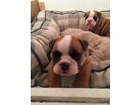 British Bulldog Puppies MUST GO!