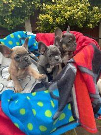 Blue,blue/tan,blue fawn French bulldog puppies