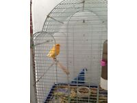 2 x border canarys