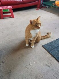 Ginger and white male. Neutered, microchipped