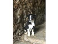 Brown Collie Pups
