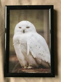 6x4 Snowy Owl Photo - Framed