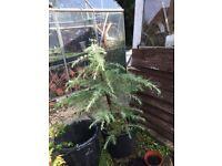 Young cedar tree
