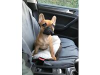 Male French Bulldog (5months old) Ready now!