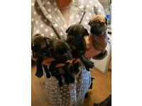 French bulldog puppies redused price