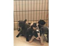 5th generation KC registered French bulldog puppies