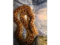 X2 female Burmese pythons