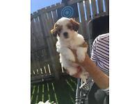 Lapoo puppies