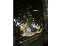 Koi and tub and filter