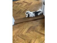 Lovely female lop rabbit/bunny Rehoming