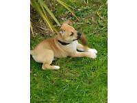 Husky Staffy puppies for sale
