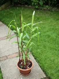 GINGER LILY in the Hedychium family but smaller with several stems instead of one or two