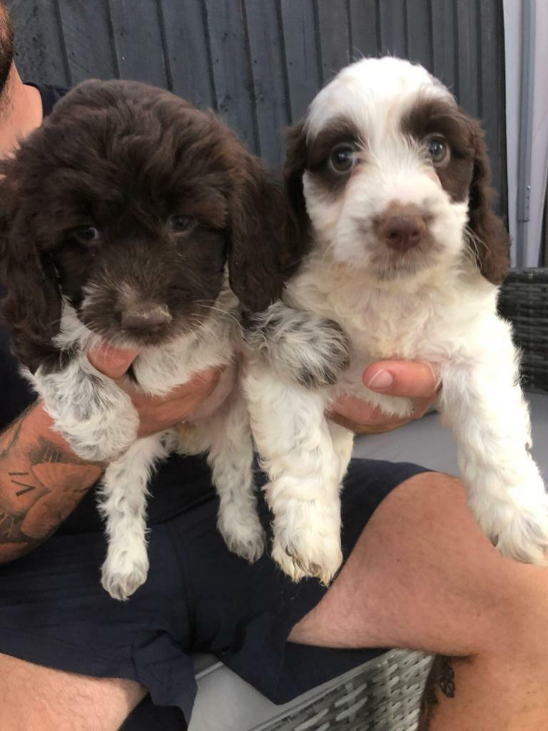 Cockapoo Puppies Ready To Leave In Cosham Hampshire Gumtree