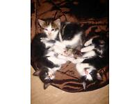 6 kittens for sale
