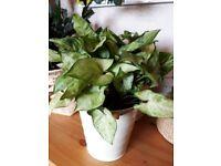 House plant - Syngonium / Arrowhead plant
