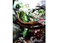 Male Crested Gecko for Sale with Full Set-Up