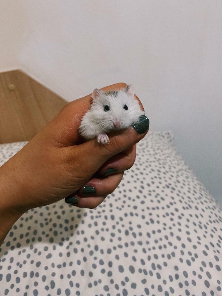 Roborovski Hamster For Sale | in Leeds City Centre, West Yorkshire | Gumtree