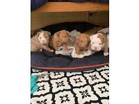 Old tyme bulldog puppys