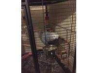 African Grey Parrot 8 months Old comes as a complete package