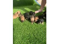 French bulldog puppies for sale to good home