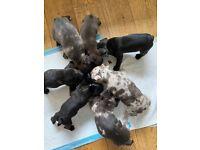 Gorgeous french bulldog pups carrying Merle gene